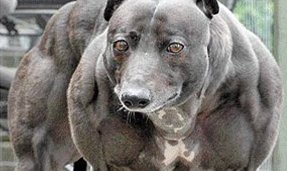Giant Pitbull Giant pitbull Images - Frompo